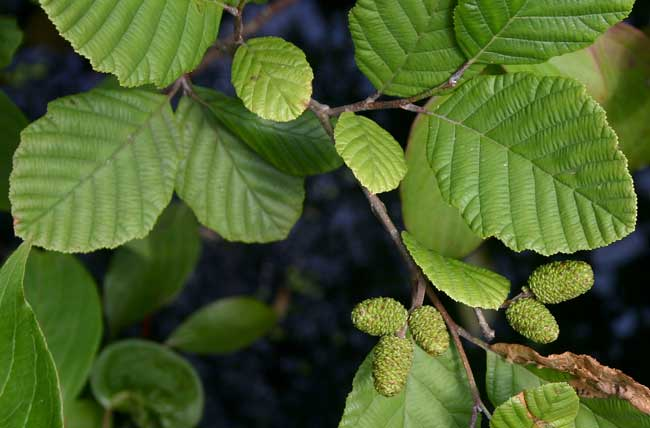 Arbustos paisajistas Evergreen Archivos - Daniel's Lawn & amp; Garden Center | Harleysville, PA